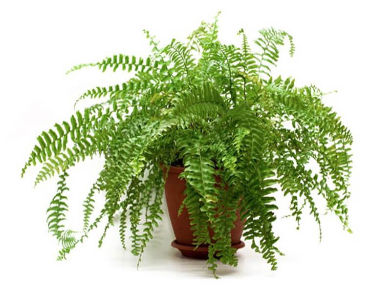 Cây dương xỉ có thể đặt trong phòng ngủ